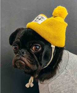 dog, yellow hat