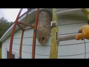4 foot tall Hornets Nest attack